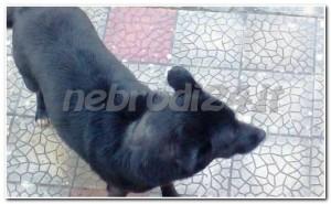 sinagra –  due cani smarriti e probabilmente ammalati? per  tutelare la salute pubblica interviene la spanò